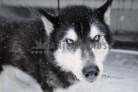 blue-eyed siberian husky covered in snowflakes stares at camera