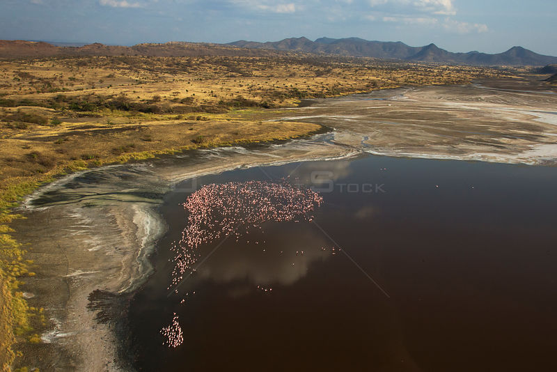 Aerial view of Lesser Flamingo (Phoenicopterus / Phoeniconaias minor) flock near the shore of Lake Natron. Tanzania, September.