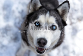 blue eyed siberian husky in the snow