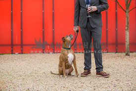 Brindle boxer dog sitting looking up at man in suit holding wine glass