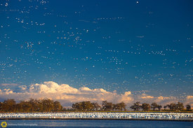 Snow Geese In Rice Field #5