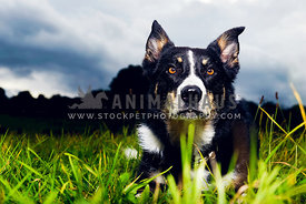 Senior Border Collie in the grass