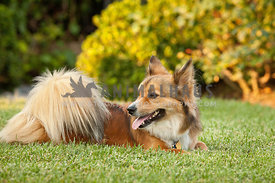 Corgi-Collie-Mixed-Breed-Laying-in-Grass-of-Yard-at-Sunset