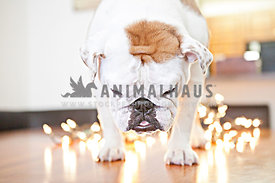 bulldog on table with christmas lights