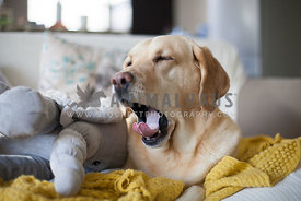 lazy labrador with toy elephant yawining with yellow blanket