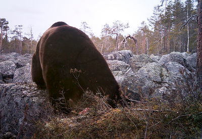 Brown Bear in IR Camera Trap Photo