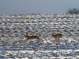 27th February 2018 Two Brown Hares Lepus europeaus chase each other across a snow covered field in winter sunshine at Holkham...
