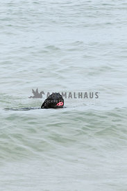 Black lab swimming in ocean with bright pink ball