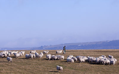 Sheep farmer tending lambs on Longstone Moor