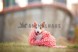 baby bull terrier peeking out from under scarf