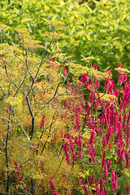 Fennel and persicaria