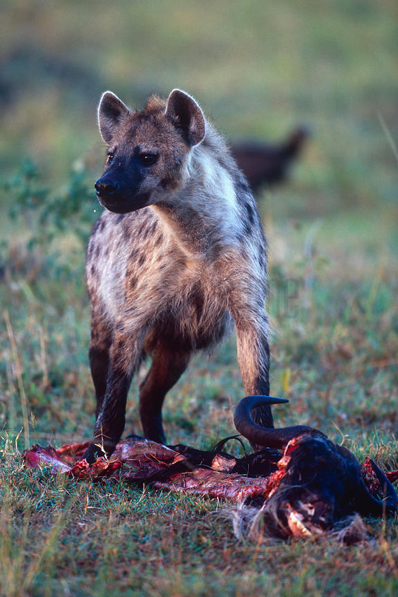 Spotted Hyaena Standing over a Carcass