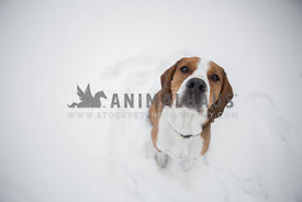 brown and white dog in snow