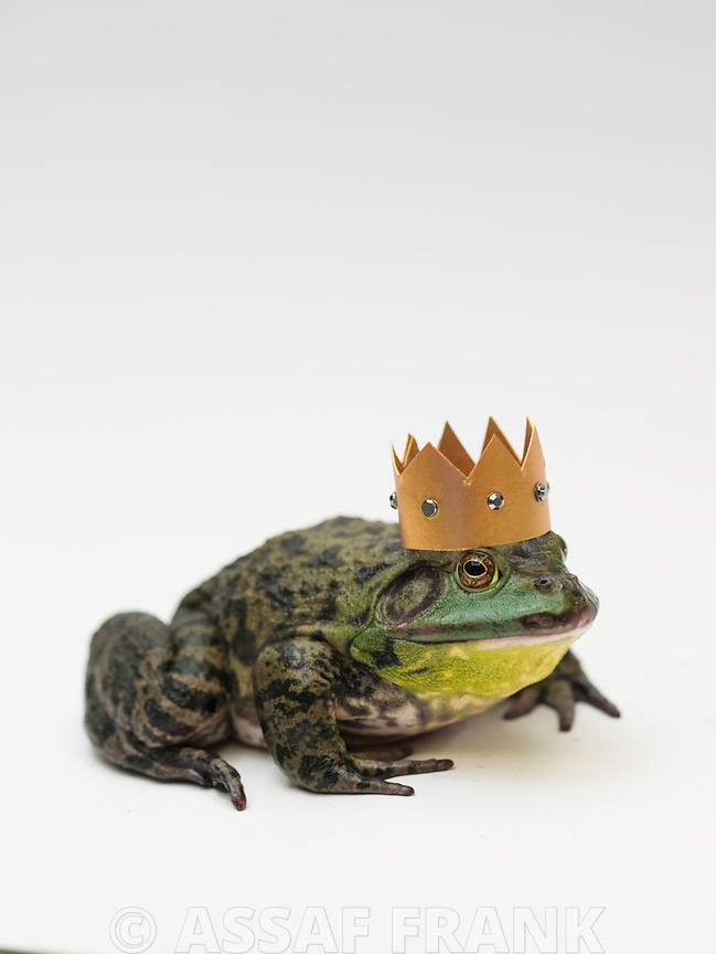 Bull frog with a golden crown on its head
