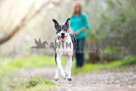 A happy dog running down the path in front of owner