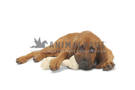 Bloodhound lying chewing on bone against white background