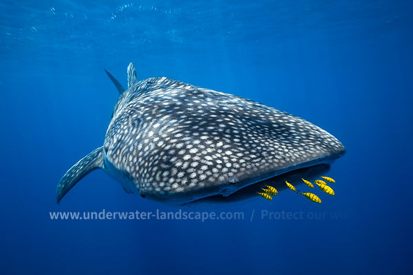 Whale shark and golden trevally