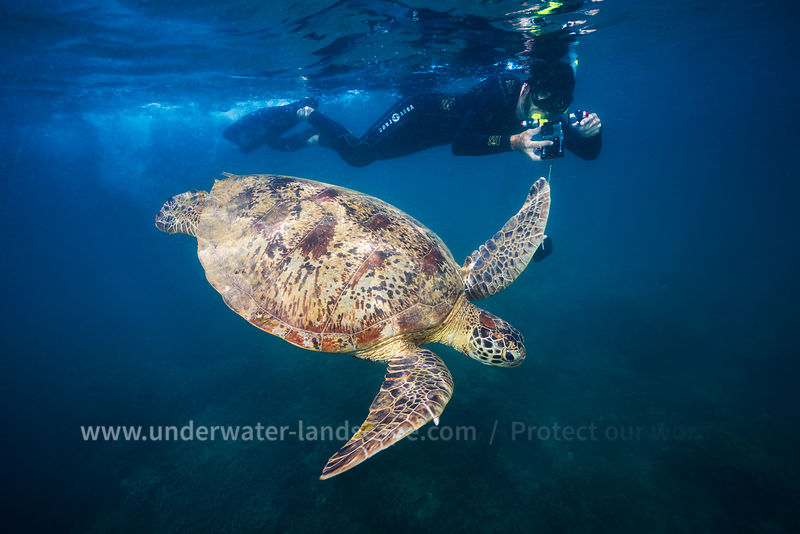 Freediver and  Sea Turtle