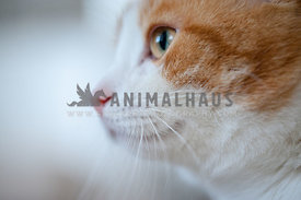 Bicolor red and white cat makro portrait shot