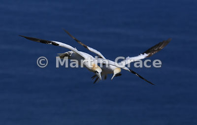Two Northern Gannets (Morus bassanus) nearly colliding in flight, Bempton Cliffs (RSPB), East Riding of Yorkshire, England
