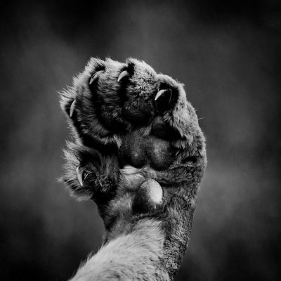 5608-Lion_paw_South_Africa_2008_Laurent_Baheux