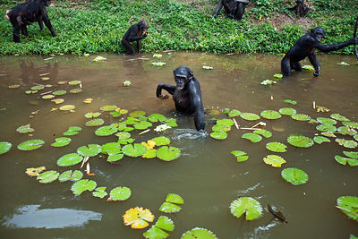 Bonobo (Pan paniscus) group foraging in a lake amongst water lilies,  Lola Ya Bonobo Sanctuary, Democratic Republic of Congo....