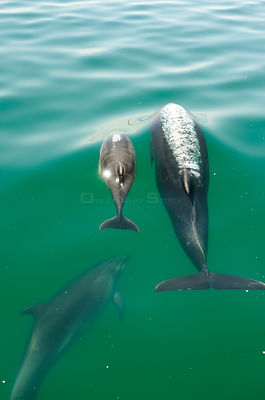 Bottlenose Dolphin (Tursiops truncatus) family swimming near the surface, Sado Estuary, Portugal