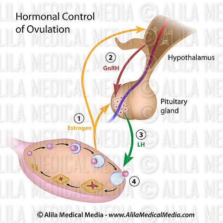 Hormonal control of ovulation