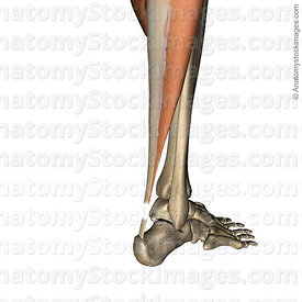 lowerleg-achilles-tendon-rupture-back