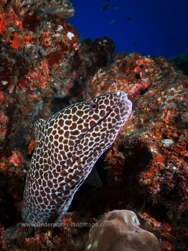 Laced Moray