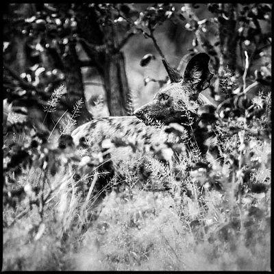 1013-Wild_dog_in_the_grass_Bostwana_2009_Laurent_Baheux
