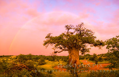 Rainbow over baobab tree at sunrise