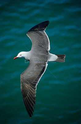 Heermann's gull (Larus heermanni) in flight over water, Isabel Island National Park, Sea of Cortez (Gulf of California) Mexic...