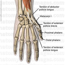 hand-thumb-muscles-dorsal-tendons-musculus-abductor-pollicis-longus-extensor-pollicis-brevis-longus-tendon-proximal-distal-phalanx-skin-names