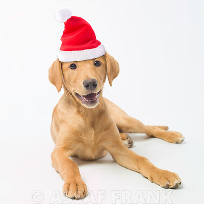 Labrador puppy with santa hat