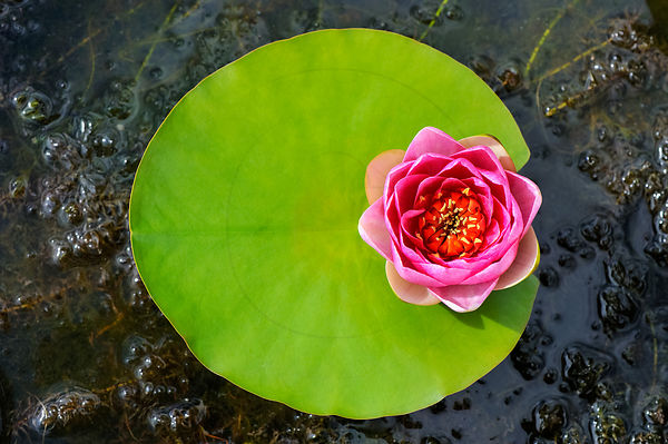 "Nénuphar ""Attraction"" - Water lily ""Attraction"" (Nymphaea sp)"