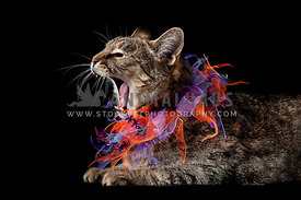 Hissing Halloween Tabby Cat