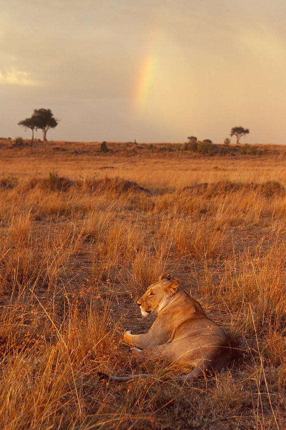 Lion Sleeping in Grassland with Rainbow
