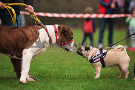 pug and mastiff meeting at dog show