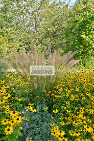 Association de vivaces : Rudbeckia spp. et Calamagrostis brachytricha Steud. (herbe aux diamants), Korean feather grass, Diam...