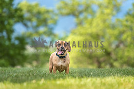 Dog with short legs stands in green grass with ear flipped and tongue out