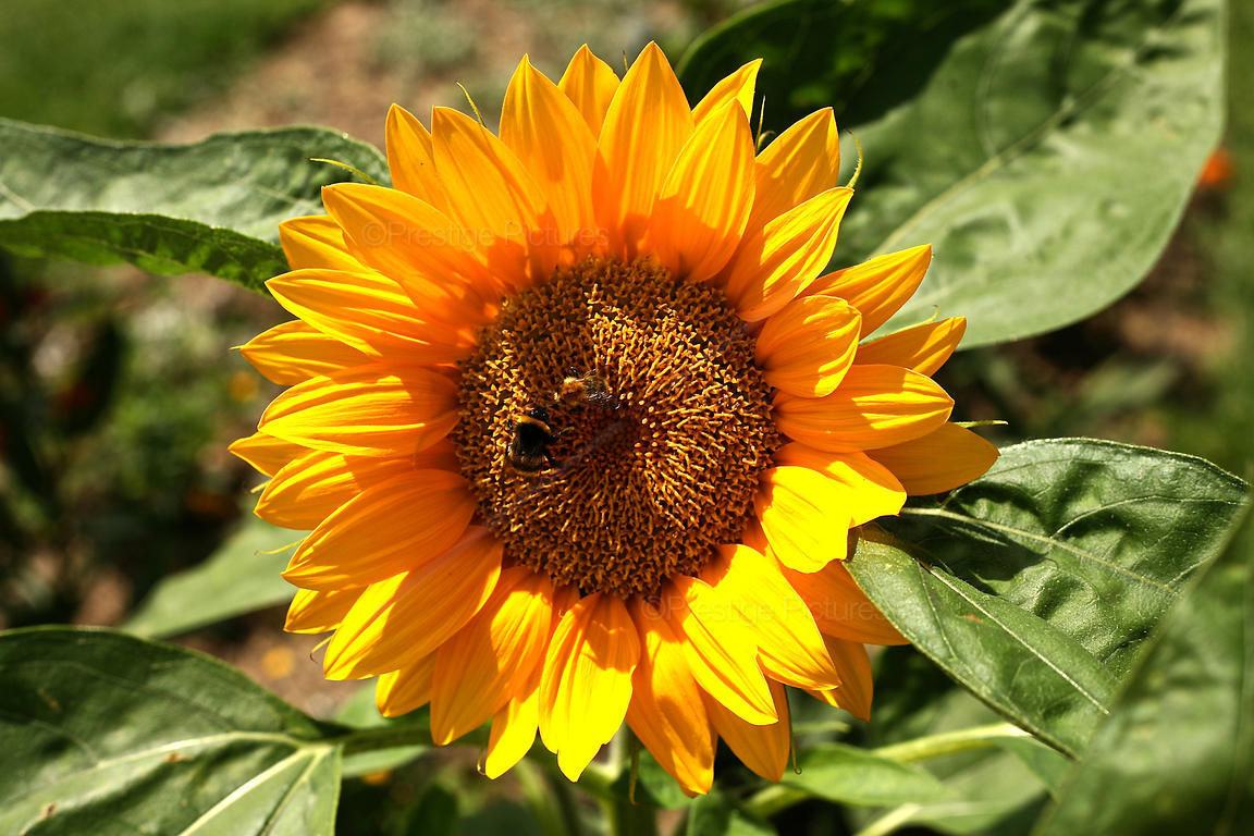 Bees Pollinating a Sunflower in a Bed of Flowers
