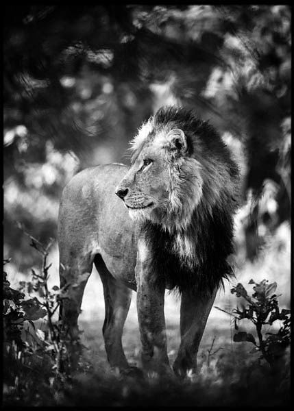 3708-Contemplative_Lion_Kenya_2013_Laurent_Baheux