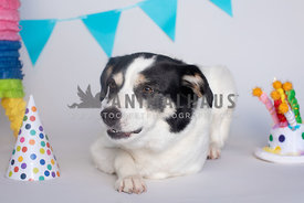 black and white mutt lying down next to birthday party decorations