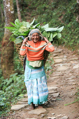 Népal, femme agée portant du fourrage pour animaux sur son dos / Old woman carrying grasses for animals, Nepal