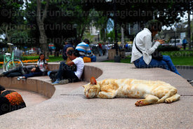 Cat asleep in Parque Kennedy, Miraflores, Lima, Peru