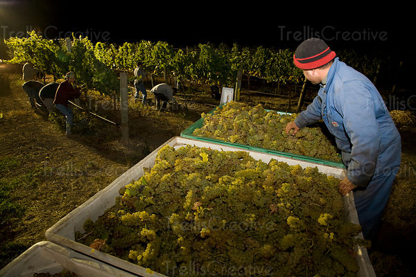 Removing the leaves from a large bin of harvested chardonnay grapes