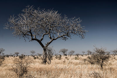 Leafless tree in a bleached, flat, dry bushveld landscape, a single elephant standing under a tree in the distance, clear blu...