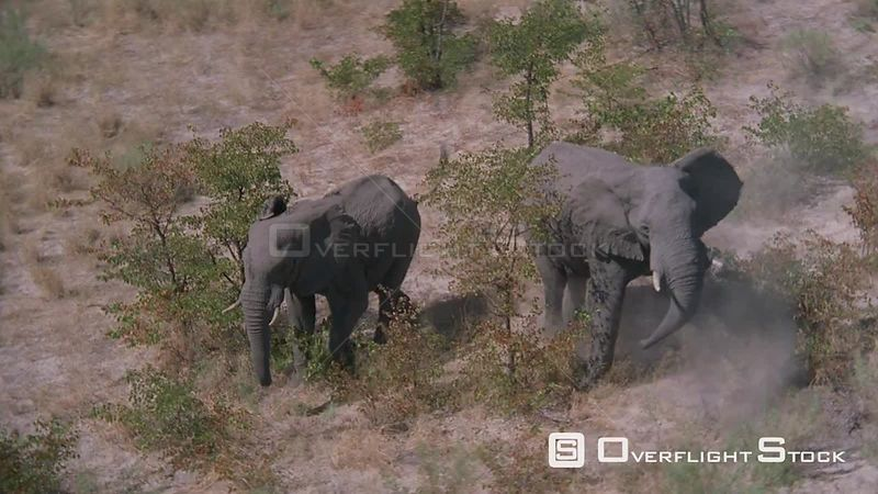 Aerial side view of two elephants running in bushveld, stop to face camera, turn round and run away Zimbabwe