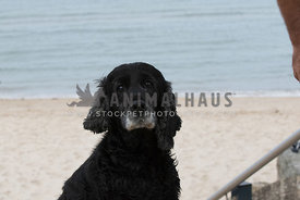 Head shot of senior cocker spaniel, grey muzzle